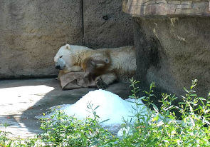 Web camera United States of America, California, San Diego, Zoo aviary with a polar bear