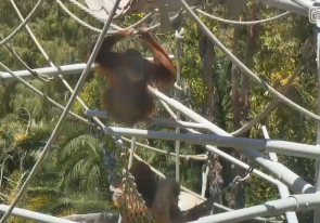 Web camera United States of America, California, San Diego, Zoo aviary with orangutans
